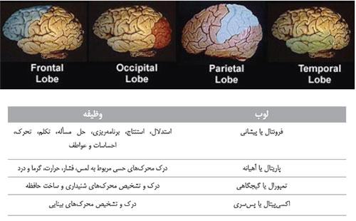 وظیفه بخش های مختلف مغز